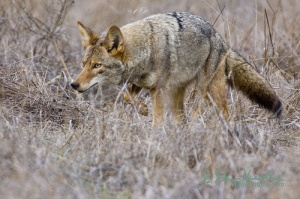 coyote-stalk-by-wildphotons